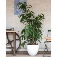 Ficus Alli MA 1