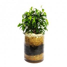 Ficus bonsai 3