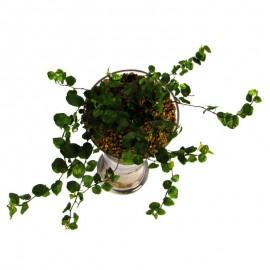 Ficus repens 3