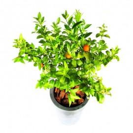 Mandarino 1