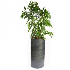Ficus alli 2