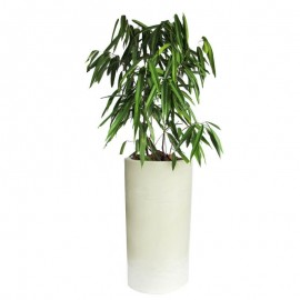 Ficus alli 1