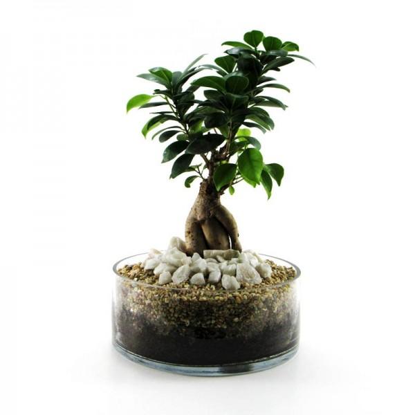Ficus microcarpa 1