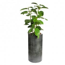 Ficus altissima 2