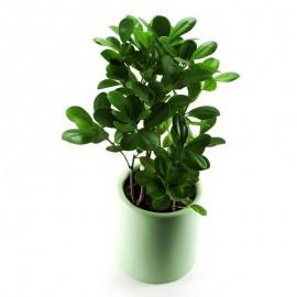 Ficus moclame MA 1