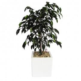 Ficus Danielle MA 1