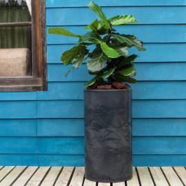 Ficus lyrata 3