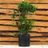 Ficus moclame 4