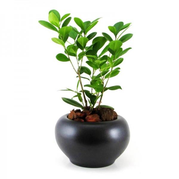 Ficus Moclame MA 7