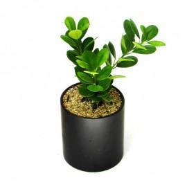 Ficus Moclame 1