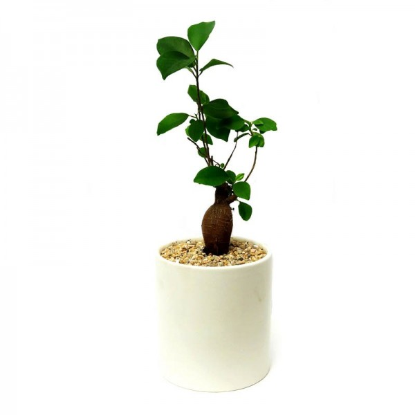 Ficus Microcarpa 4