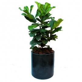 Ficus lyrata 6
