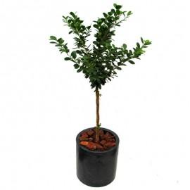 Ficus trenzado 1