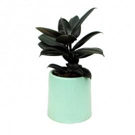 Ficus elastica MA 1