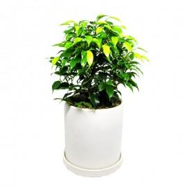 Ficus bonsai 2