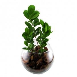 Ficus moclame 3