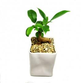 Ficus microcarpa 6